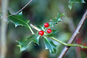 Typer av vintergröna prydnadsträd