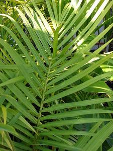 Hur till omsorg for majestätiska Palms tropiska växter
