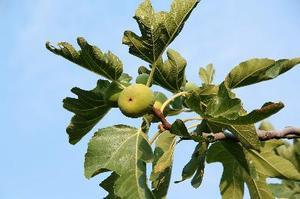 När ska man plantera en fikonträdet?