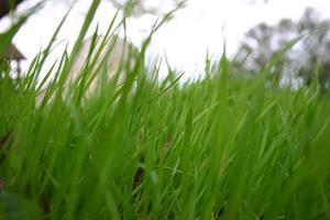 Gräsmatta bekämpningsmedel för att bli av med fästingar och loppor