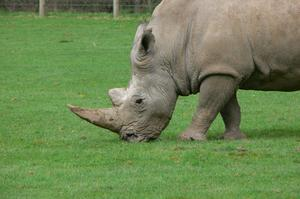 Vad är en noshörning horn gjord av?