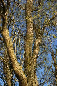 Korkskruv willow tree information