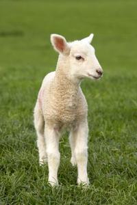 Hur man bak lamm på mjölkersättningen