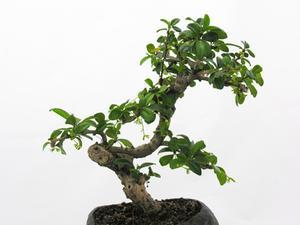 Typer av inomhus bonsaiträd