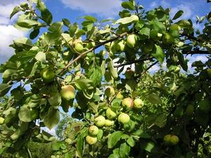 Apple Tree löv sjukdomar