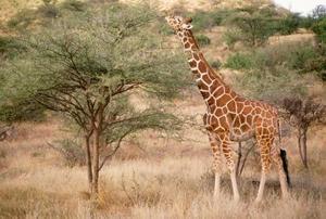 Fysiska & beteende anpassningar av en giraff