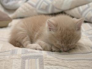 Hur bli av med loppor på 3 veckor gamla kattungar
