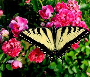 Den bästa tiden att beskära gamla hederliga Rose buskar