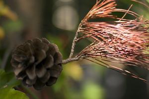 Varför vänder bladen på en vit ceder tuja vintergröna Brown