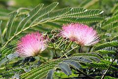 Hur ser en Mimosa träd ut?