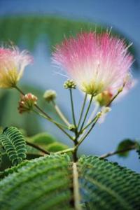 Skillnaden mellan mimosa och acacia träd