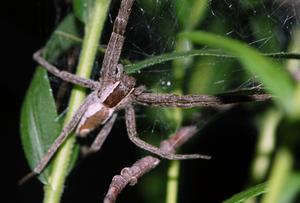 Gemensamma North Carolina spindlar