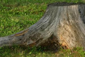Hur man dödar ek rötter utan kemikalier