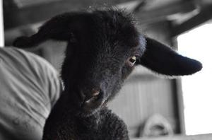 Vad man ska mata en baby lamm?