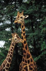 Anpassningar av giraffer att leva i en savann