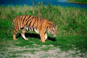 Hur man gör en vild Tiger Stencil