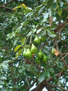 Hur man odlar Avocado träd i Arizona