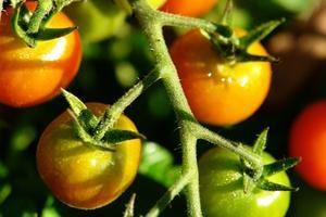 Tomatplantor & Gnats