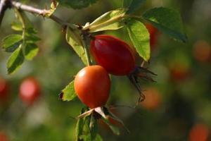 Hur man Beskär Rosa Rugosa buskar
