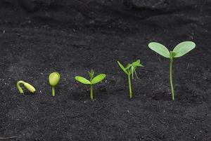Hur lång tid tar det innan Bönan växter att gro?