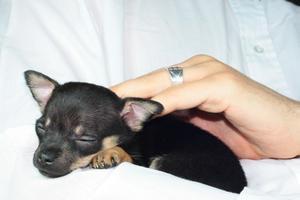 Hur man tar hand om en 3-dag-gammal chihuahua