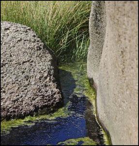 Blå grönalger toxicitet hos hundar