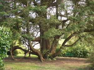 Hur ofta till vatten nya ceder träd