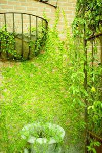 Klättrande växter som växer i krukor att dölja ett staket