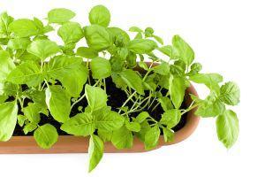 Hur du använder vekar att vattenväxter