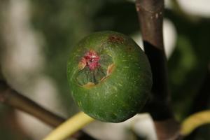Rökning Fig trä