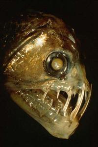 Kännetecken för djupa havsfisk