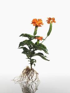 Hur växtceller Elongate med Auxin?