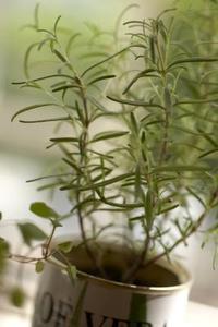 Är rosmarin ärter desamma som rosmarin växter?