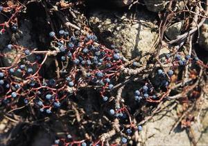 Hur till omsorg for svart hallon buskar