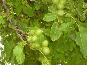 Följeslagare växter för engelska valnötsträd
