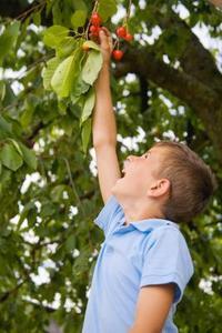 Hur att reproducera ett körsbärsträd