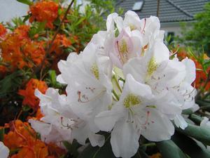 Hur långt tillbaka kan du trimma en Rhododendron?