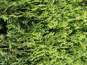 Sun-älskande vintergröna buskar