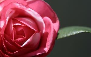 Hur jag beskära en gammal camellia buske?