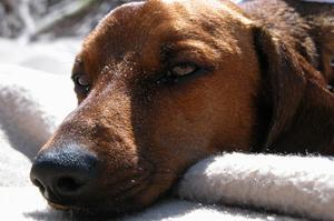 Hur ansöker hund öra droppar