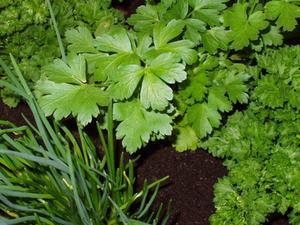 Krukväxter örtagård gåvor