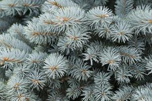 Colorado piffa vintergröna träd