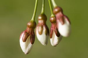 Hur att beskära körsbär prydnadsträd