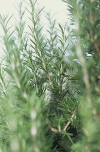 Hur man odlar rosmarin växt häckar