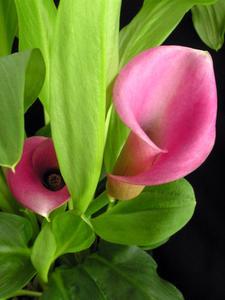 Hur djupt du plantera Calla Lily lökar?