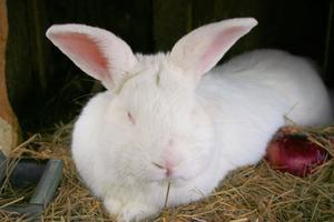 Idéer för hyllor för Bunny burar i en Bunny lada