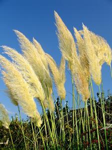 Hur man Beskär Pampas gräs på sommaren