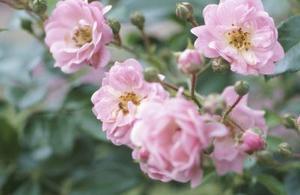 När är det försent att beskära rosor?
