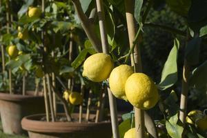 Dvärg frukt trädvård