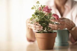 Hur man odlar en Rose växt i kruka